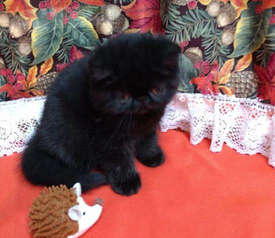 black persian kitten photo
