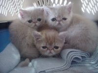 persian kittens photo